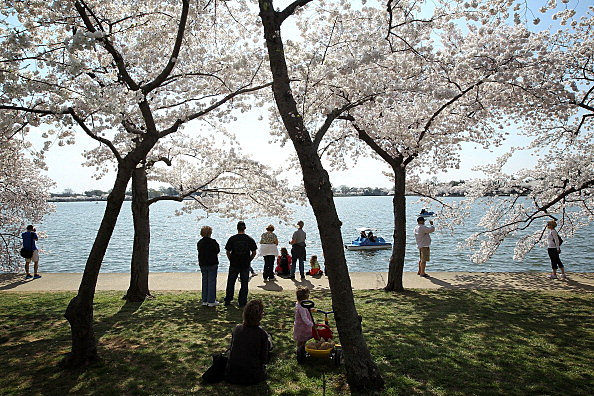 Cherry Trees In Bloom In Washington DC