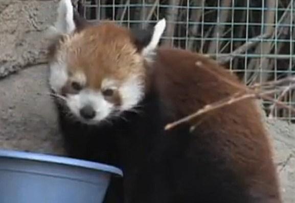 Denver Zoo Red Panda