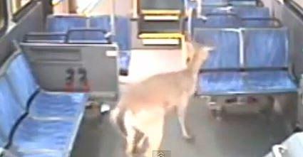 deer on bus