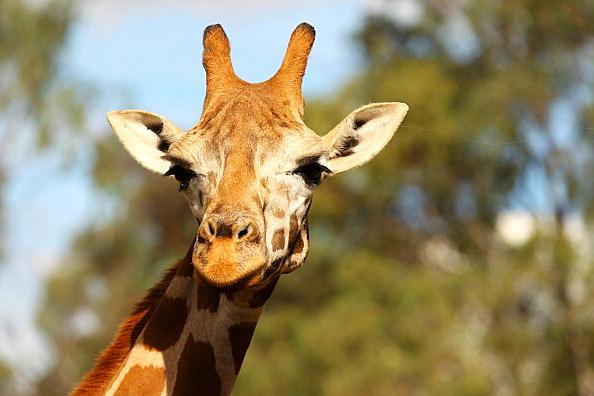 Facebook Giraffe Challenge