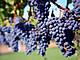 Ripe Merlot Grapes in Vineyard