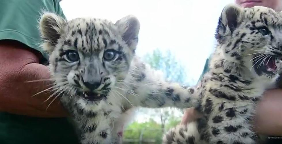 Adorable Baby Snow Leopards In Chittenango Will Melt Your Heart