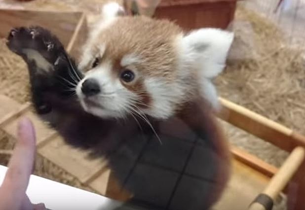 Baby Red Panda Cubs Cant Wait to See You in Syracuse