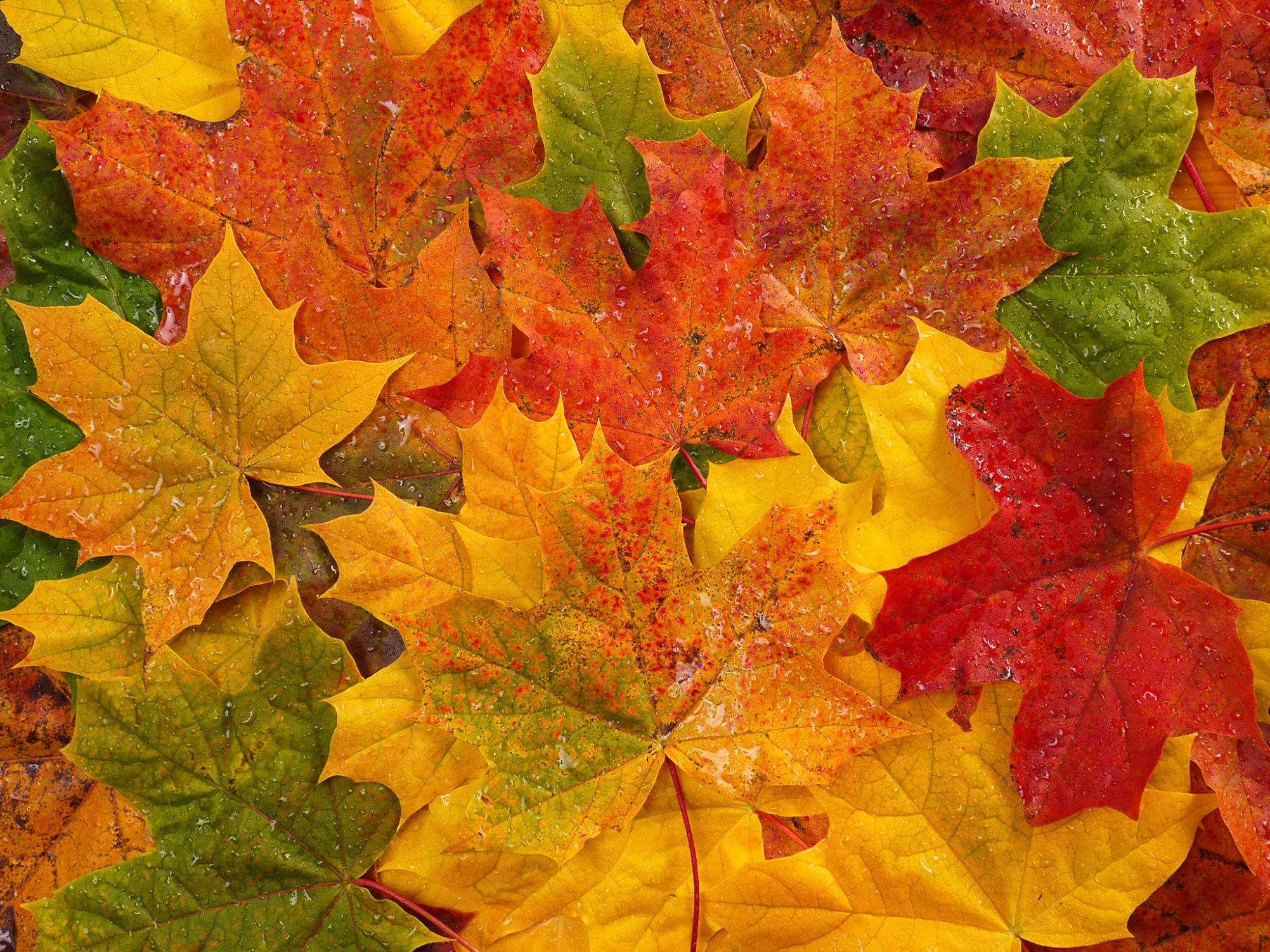 Autumn colored leaves with water drops background