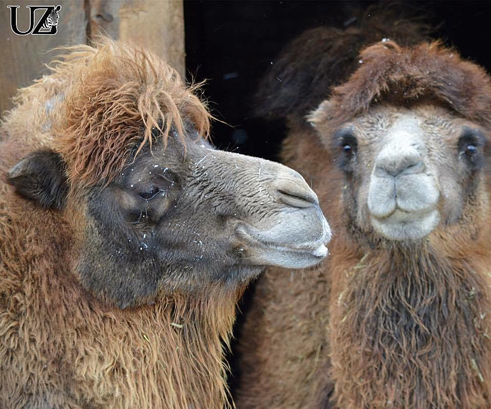 The Newest Edition to the Utica Zoo - A Camel From Ohio